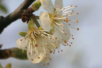 Nahaufnahme Apfelblüten