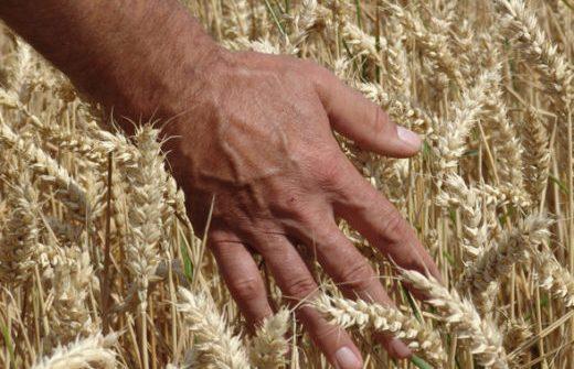 Hand die durch ein Weizenfeld streicht