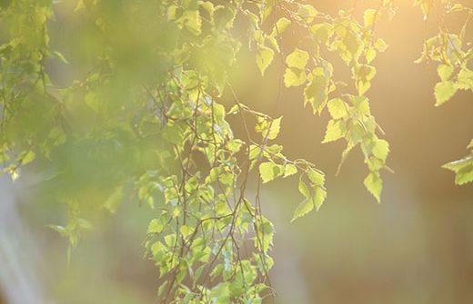 Birkenzweige in der Sonne