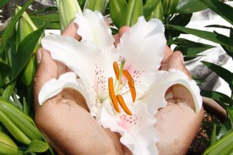 Zwei Hände die eine Lilienblüte halten