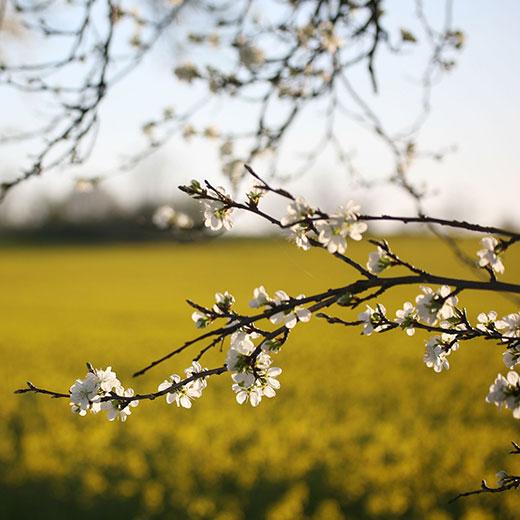 Kirschblütenzweige